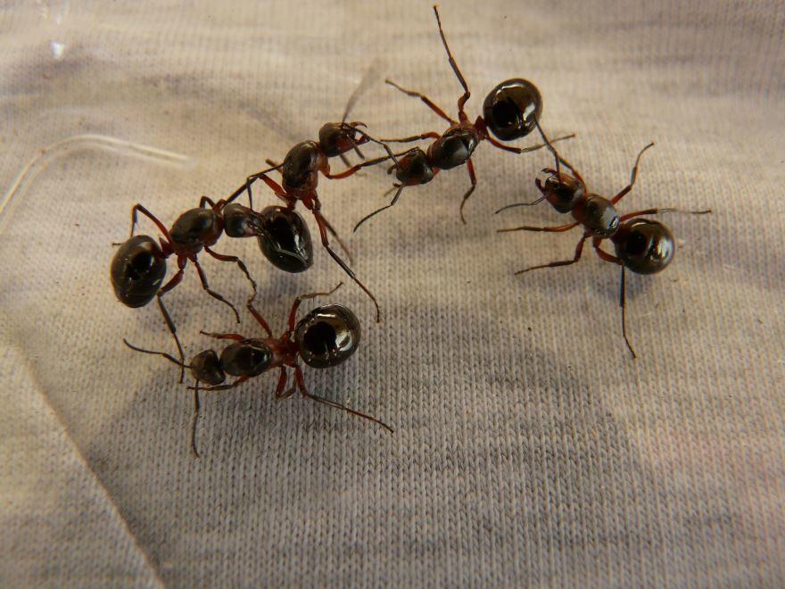 Смотреть фото красивого черного садового муравья