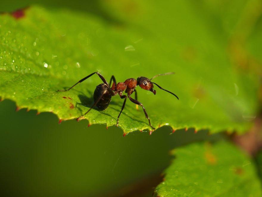 Скачать онлайн бесплатно лучшие картинки садового муравья