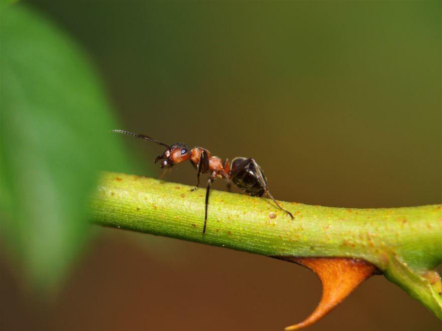 Смотреть красивые картинки садового муравья на природе
