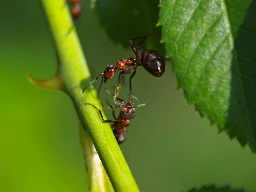 Скачать лучшие картинки садового муравья