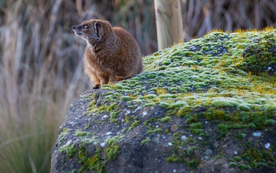 Смотреть бесплатно лучшие фото мангуста на природе
