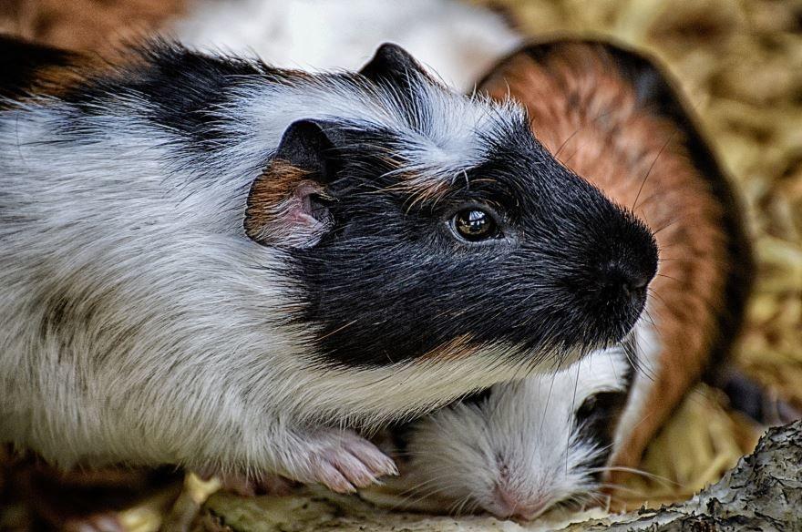 Лучшая картинка домашних маленьких морских свинок