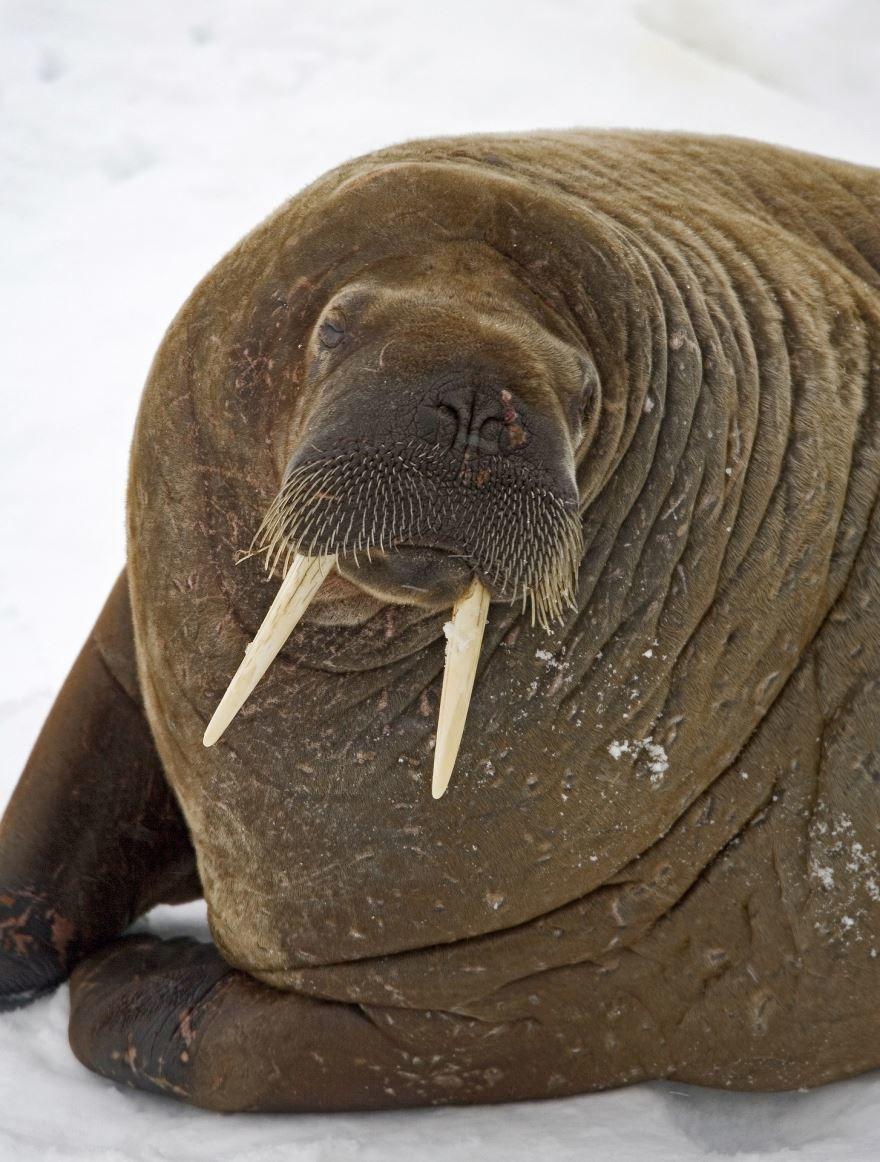 Смотреть красивое фото моржа крупным планом