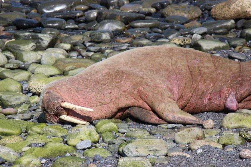 Смотреть бесплатно красивую картинку мама и детеныш моржа