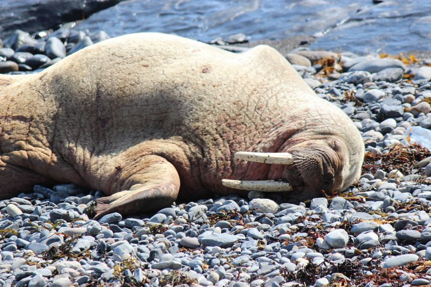 Смотреть бесплатно лучшее фото морж отдыхает