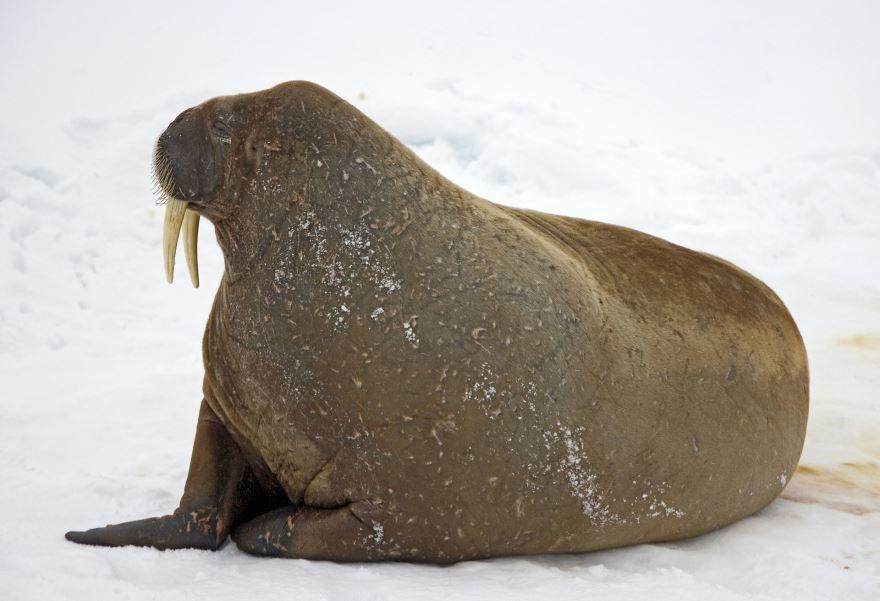 Лучшие картинки моржа бесплатно