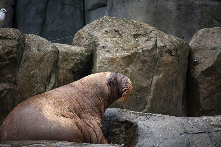 Смотреть фото моржа крупным планом