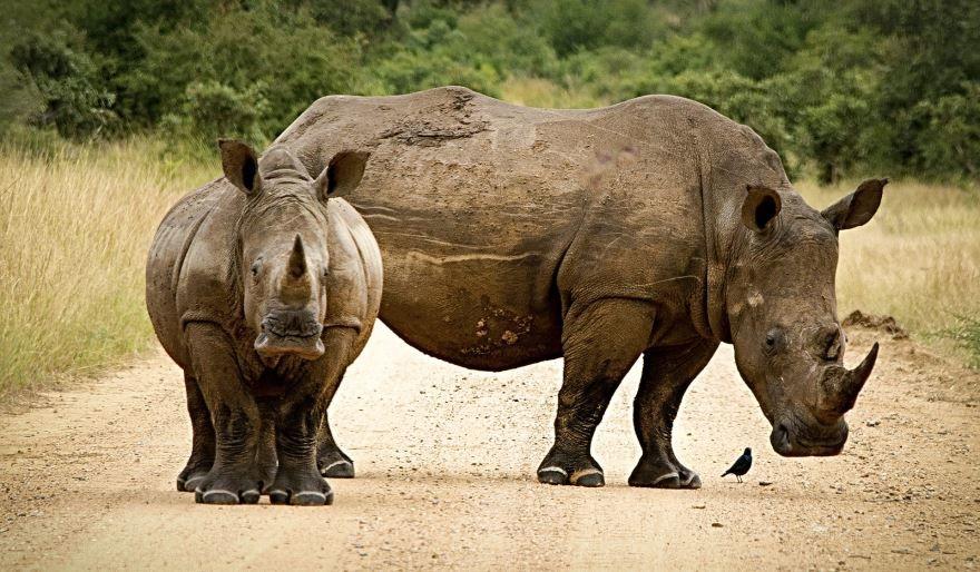 Скачать лучшее фото носорога бесплатно