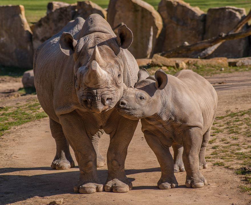 Смотреть интересное фото носорогов как они едят