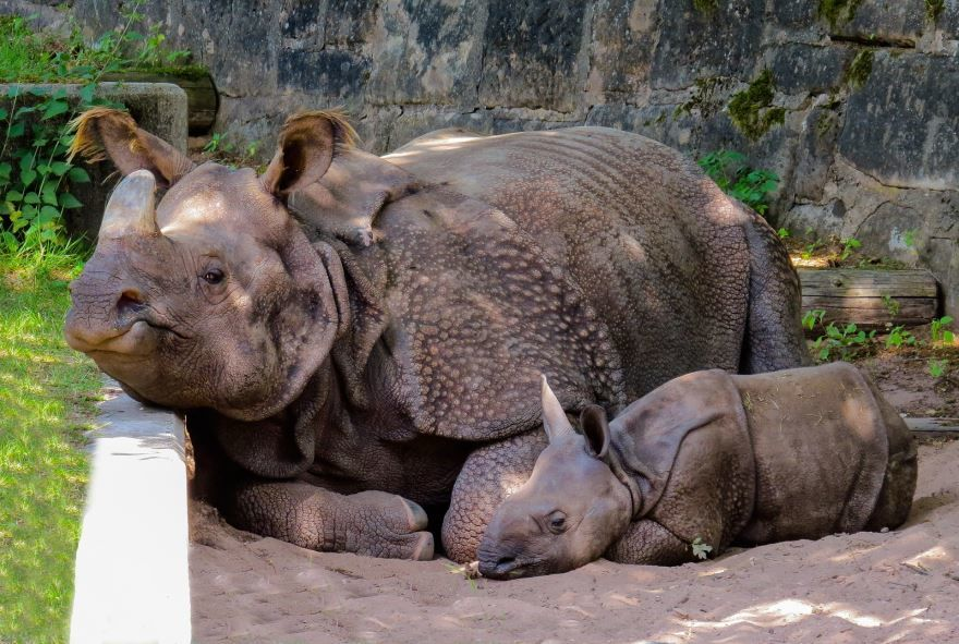 Лучшее фото носорога на природе со своим детенышем