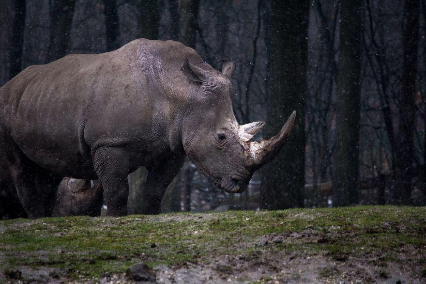 Скачать бесплатно лучшее фото двух носорогов
