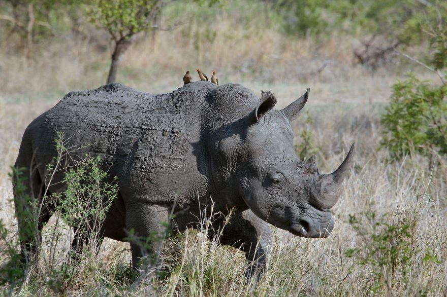 Смотреть красивую картинку носорог кушает