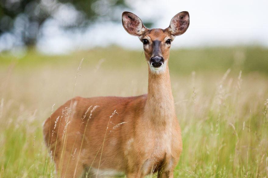 Смотреть лучшее фото оленя бесплатно