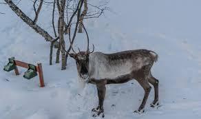 Скачать интересное фото северного оленя на природе зимой