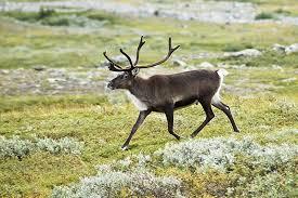 Скачать бесплатно картинку северного оленя в хорошем качестве