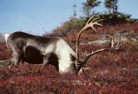 Красивое, необычное фото северного оленя