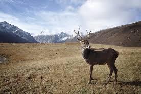 Смотреть красивые картинки северный олень на природе