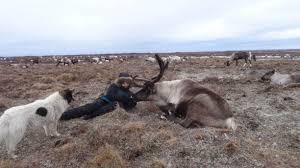 Смотреть интересную картинку северный олень отдыхает
