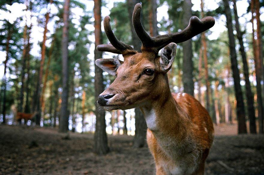 Смотреть красивые картинки лесной олень на природе
