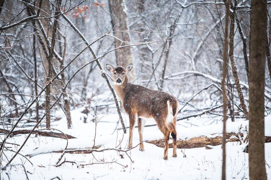 Скачать интересное фото лесного оленя на природе зимой