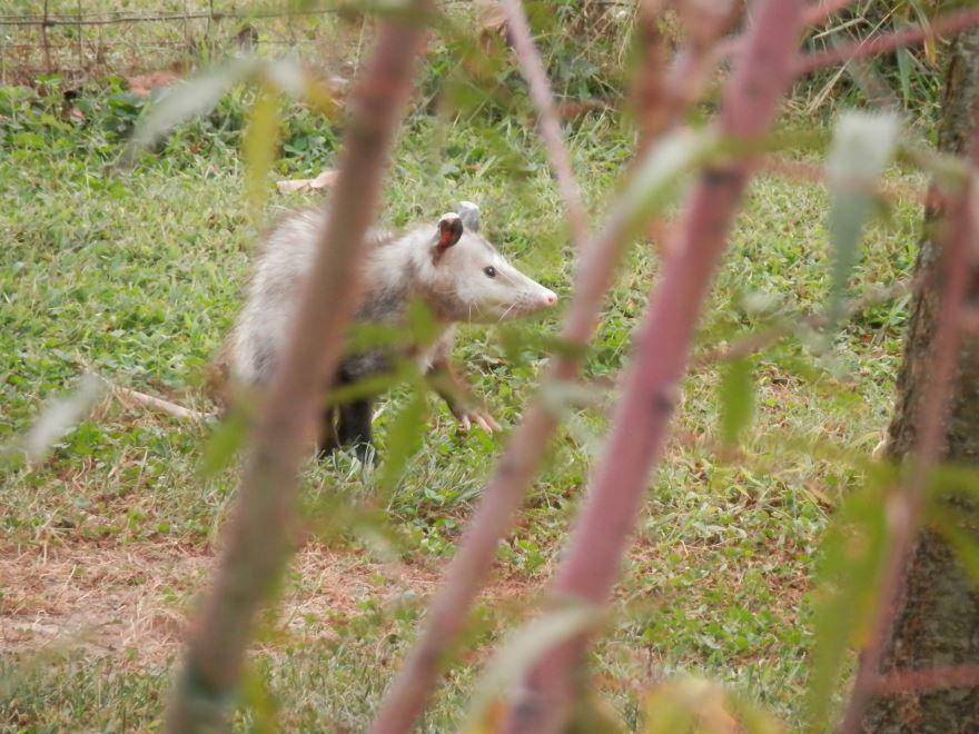 Смотреть интересную картинку дикого опоссума на природе в хорошем качестве