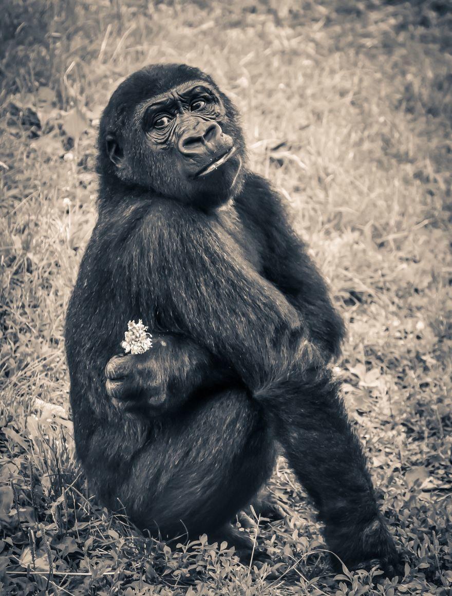 Смотреть красивую картинку черной обезьяны крупным планом