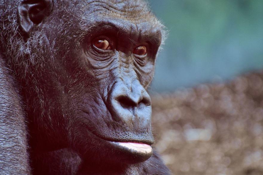 Скачать онлайн бесплатно фото большой красивой обезьяны