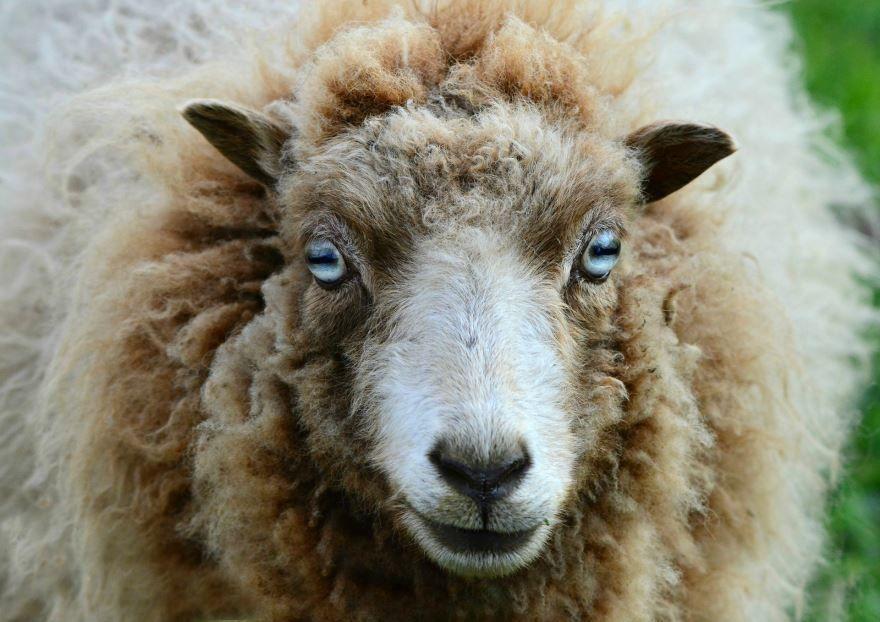Смотреть картинку темной овцы на природе летом