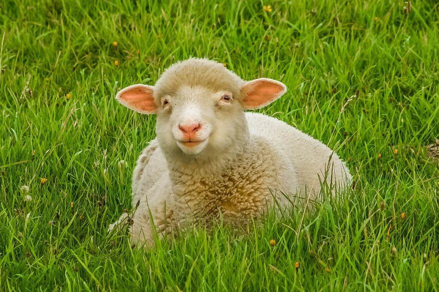Скачать онлайн бесплатно красивое фото белой овцы