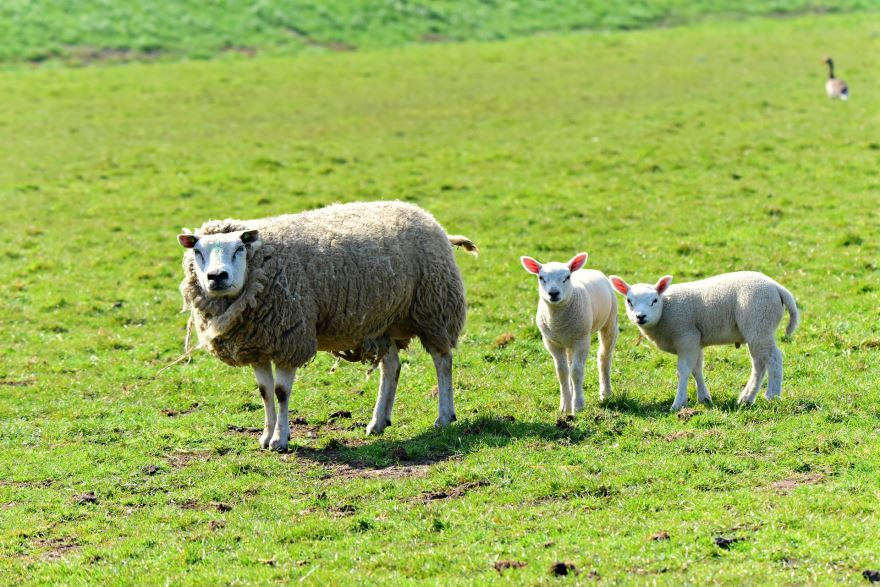 Лучшее фото овцы крупным планом