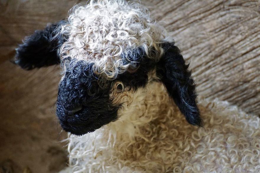 Лучшая рыжая овца крупным планом на природе