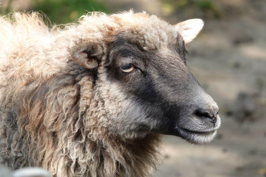 Большая белая овца на природе
