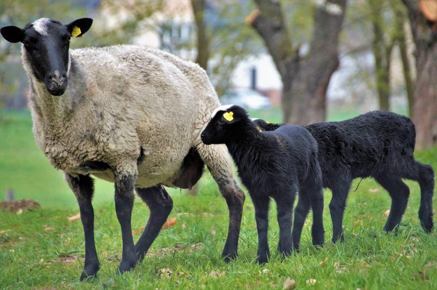 Смотреть лучшее фото овцы на природе