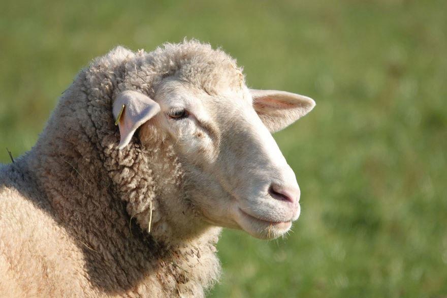 Фото домашние овцы пасутся на пастбище