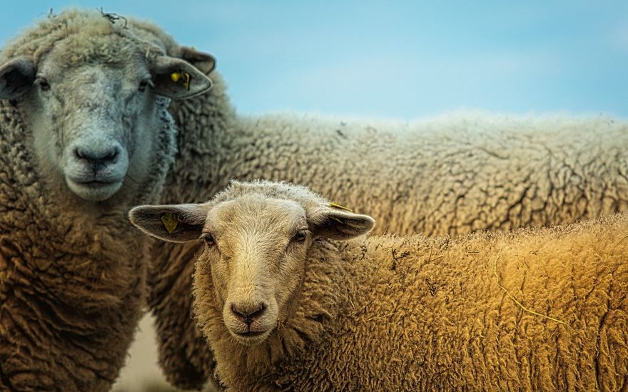 Смотреть интересное фото ферма овец
