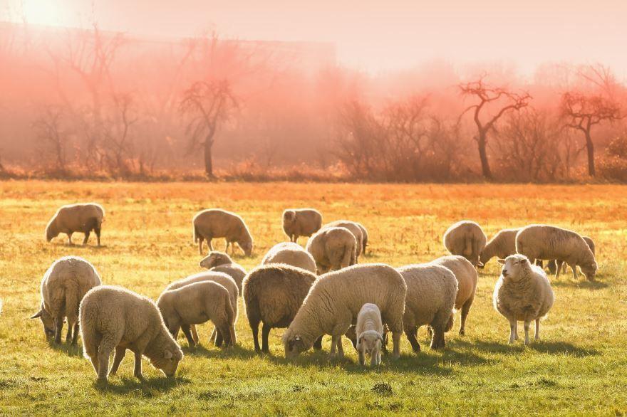 Смотреть домашние овцы пасутся на лугу