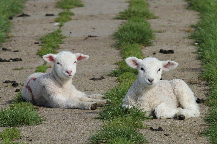 Скачать бесплатно картинку большое стадо овец
