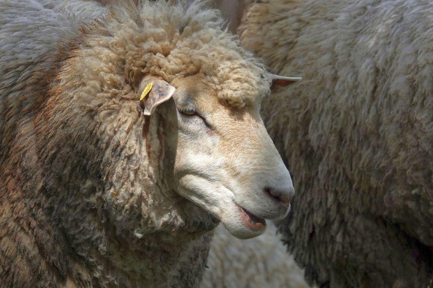 Скачать онлайн бесплатно фото большой красивой овцы