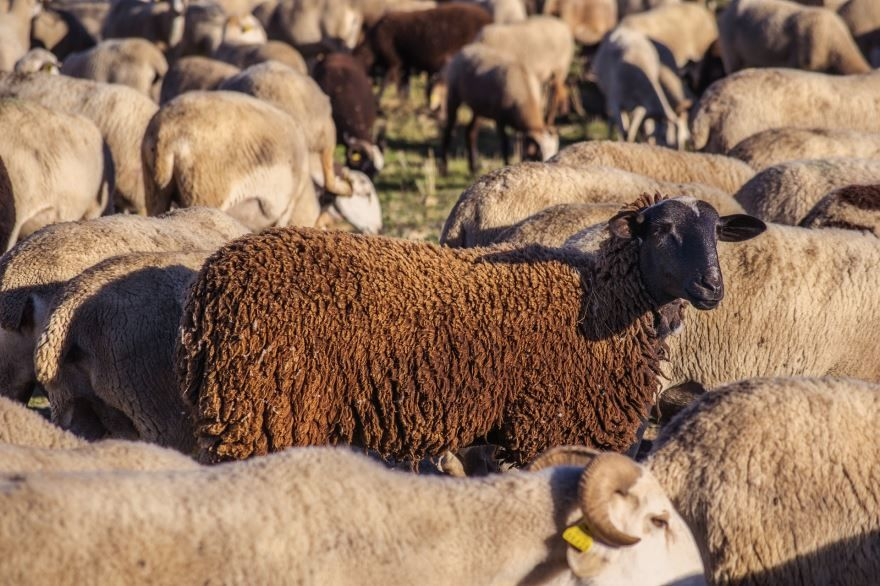 Скачать бесплатно картинку овцы в хорошем качестве