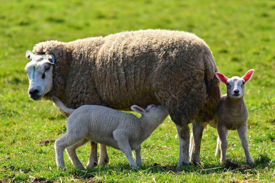 Смотреть лучшее фото овцы на природе со своими детенышами