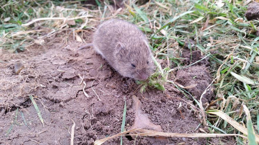 Смотреть красивые картинки мышки полевки