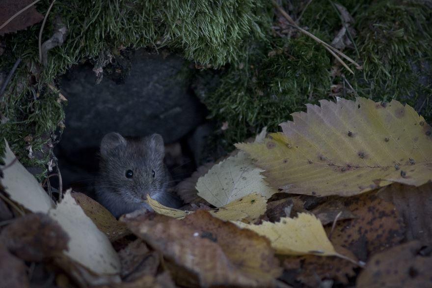 Скачать онлайн бесплатно фото маленькой мышки полевки