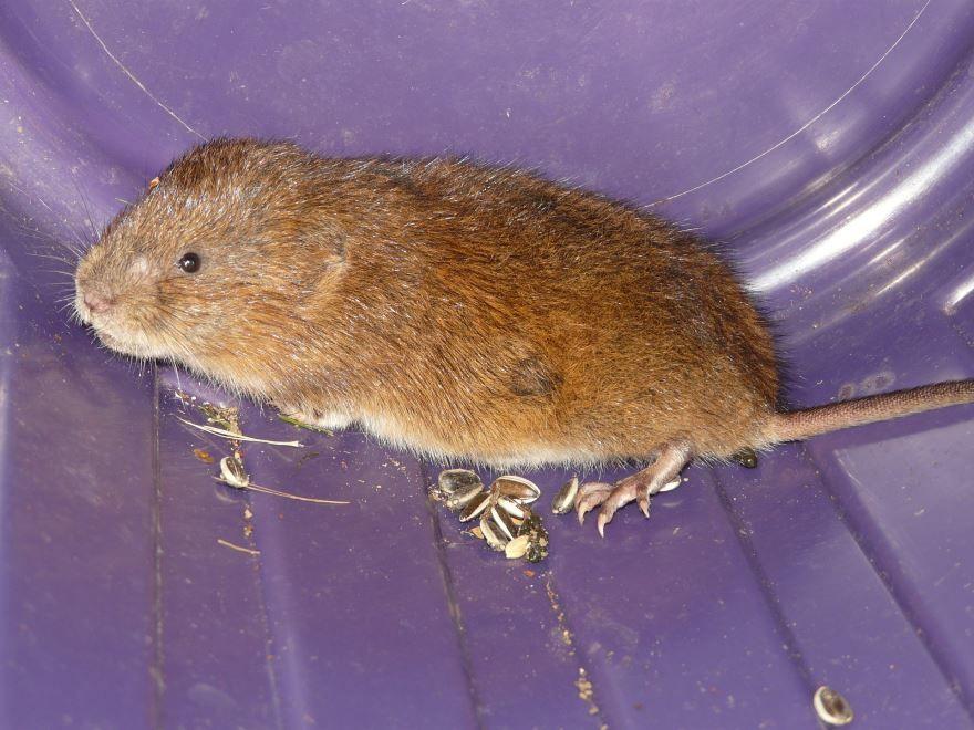 Скачать онлайн бесплатно красивое фото мышки полевки