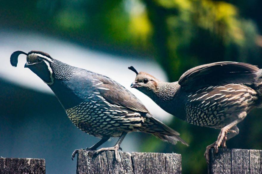 Смотреть лучшее фото птицы перепелки бесплатно