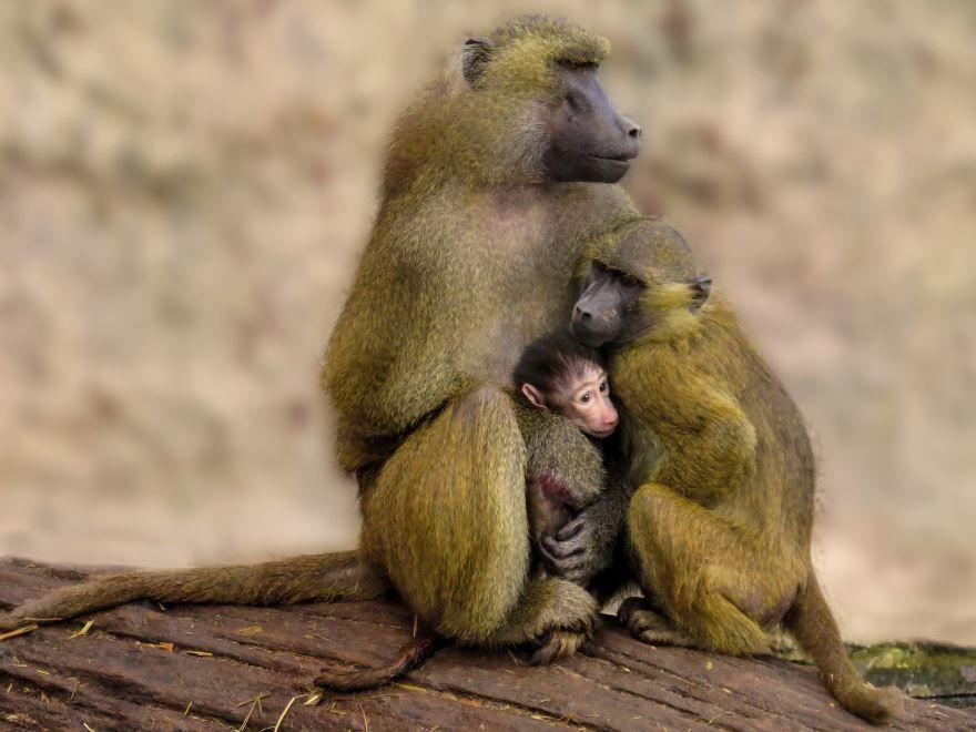 Смотреть красивое фото обезьяны павиан в дикой природе