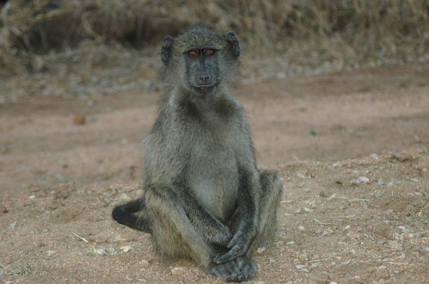 Скачать онлайн бесплатно лучшее фото обезьяны павиан с детенышем