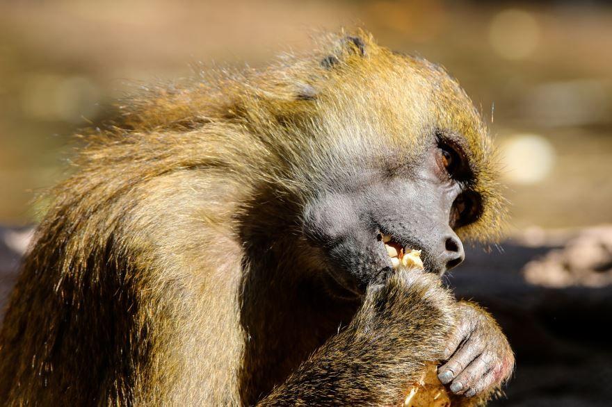 Красивое фото необычной обезьяны с детенышем