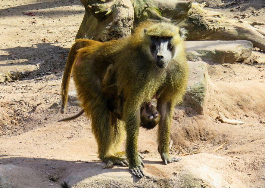Скачать бесплатно красивую картинку обезьяны