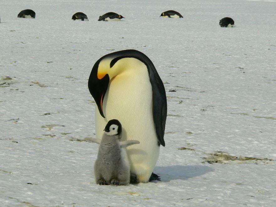 Смотреть лучшие картинки пингвинов на природе
