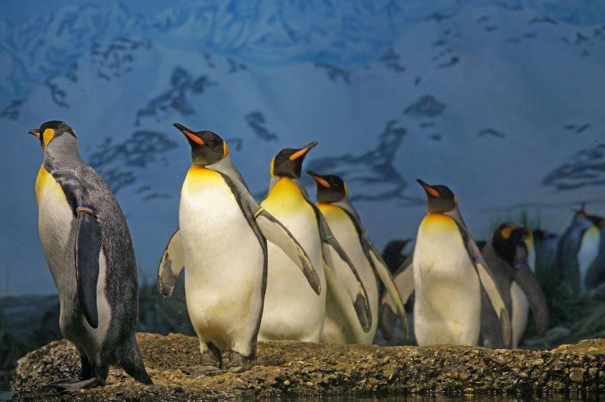 Лучшее фото пингвина и его детеныша